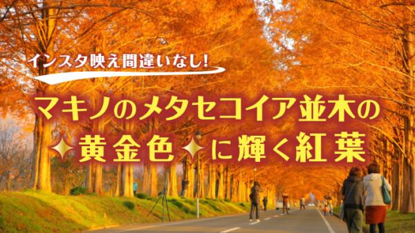 インスタ映え間違いなし!マキノのメタセコイア並木の黄金色に輝く紅葉
