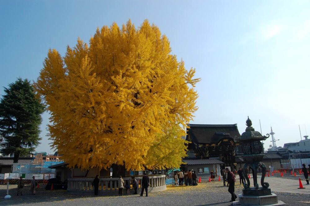 西本願寺・阿弥陀堂前のイチョウ 見頃 2007年12月2日 撮影:MKタクシー