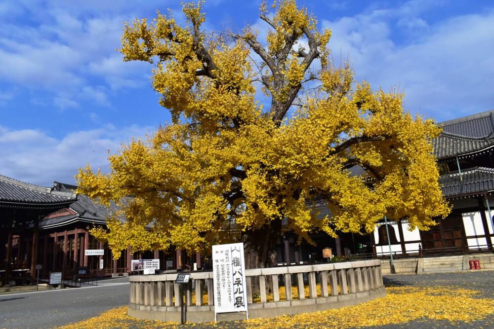 西本願寺・阿弥陀堂前のイチョウ 散りはじめ 2019年12月14日 撮影:MKタクシー