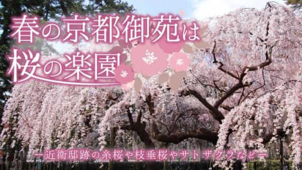 春の京都御苑は「近衛邸跡の糸桜」など枝垂桜やサトザクラなど桜の楽園