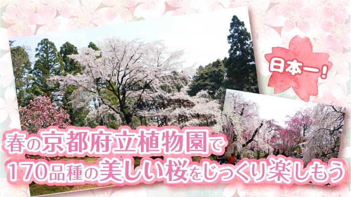 日本一!春の京都府立植物園で170品種の美しい桜をじっくり楽しもう