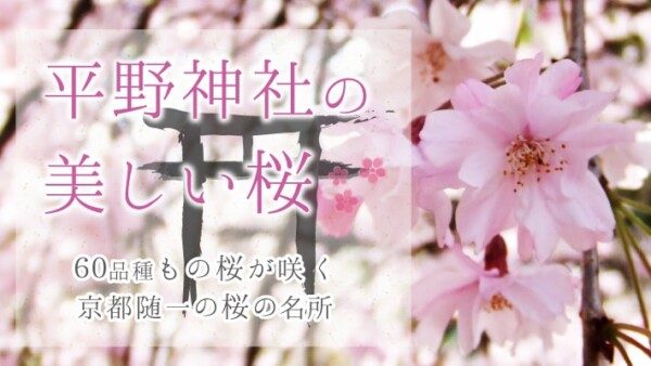 60品種が咲き乱れる京都随一の桜の名所!「平野神社」の美しく珍しい桜