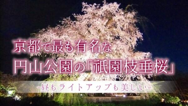 京都で最も有名な円山公園の「祇園枝垂桜」は昼もライトアップも美しい
