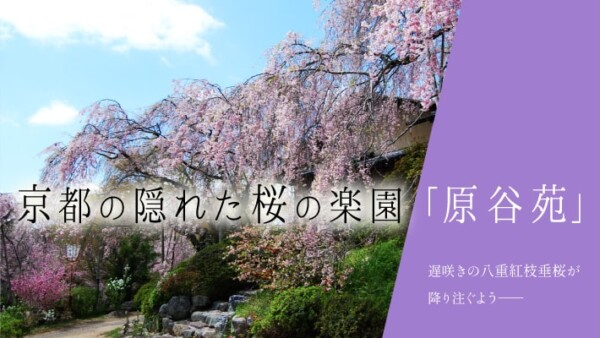 京都の隠れた桜の楽園「原谷苑」は遅咲きの八重紅枝垂桜が降り注ぐよう