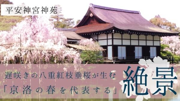 絶景!平安神宮神苑で遅咲きの八重紅枝垂桜の「京洛の春を代表する」景色