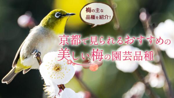 梅の主な品種を紹介!京都で見られるおすすめの美しい梅の園芸品種