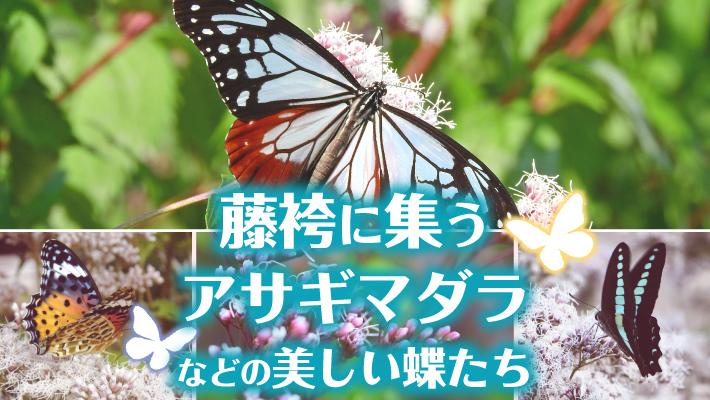 藤袴(フジバカマ)に集うアサギマダラやツマグロヒョウモンなどの蝶