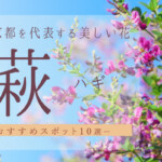 秋の京都を代表する美しい花である萩(ハギ)おすすめスポット10選