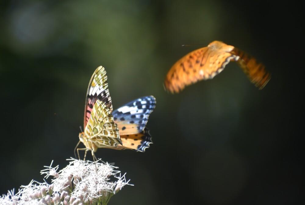 雌雄が追いかけ合う梨木神社のツマグロヒョウモン 2021年10月2日 撮影:MKタクシー