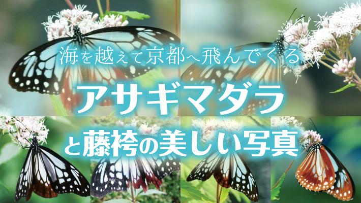 海を越えて京都へ飛んでくるアサギマダラと藤袴が美しい写真