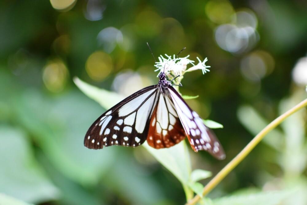京都府立植物園・四季彩の丘の藤袴とアサギマダラ 2020年10月13日 撮影:MKタクシー