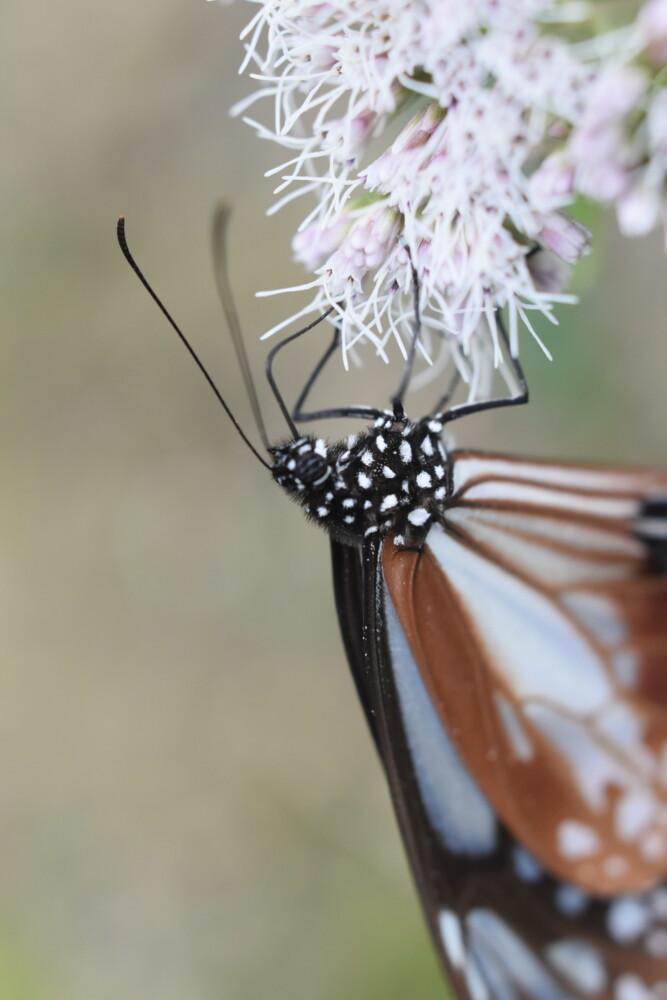 おいしそうに蜜を吸う大原野南春日町のフジバカマ園のアサギマダラ 2021年9月26日 撮影:MKタクシー