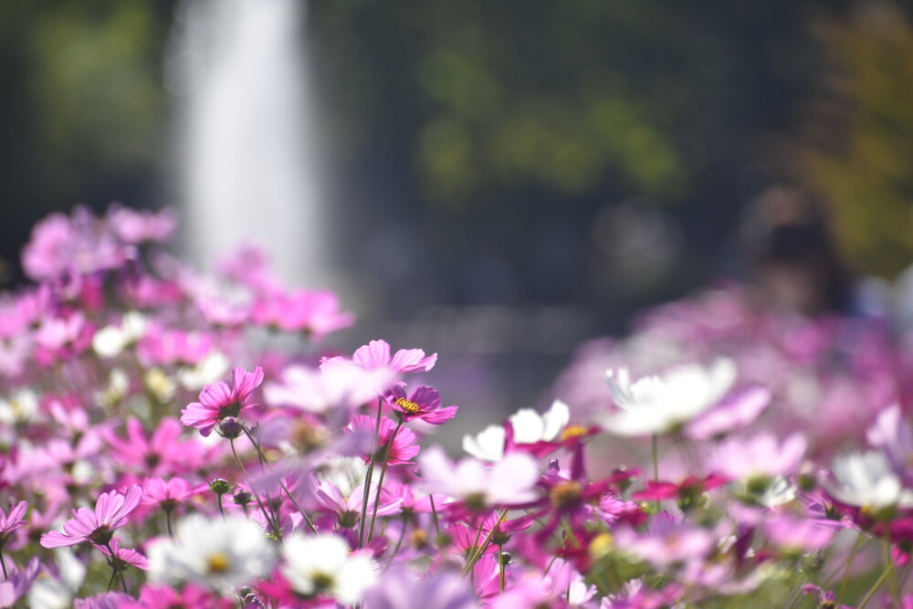 京都府立植物園・北山門前のコスモスと噴水 見頃 2021年10月16日 撮影:MKタクシー