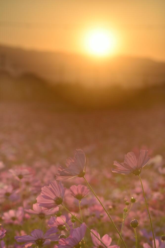 夕日を浴びる藤原宮跡のコスモス 見頃 2021年10月15日 撮影:MKタクシー